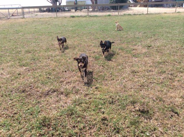 Avenpart Zondo Semen AI – Puppy Update